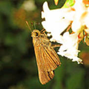 Skipper Butterfly Two Poster