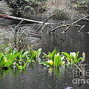 Skunk Cabbage Blooming In Washington State Forest  4 Poster