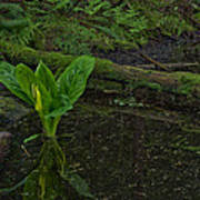 Skunk Weed Cabbage In The Pond Poster