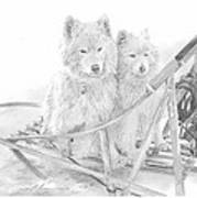 Sled Dogs Riding In Sled Pencil Portrait Poster