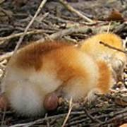 Sleeping Chick Poster