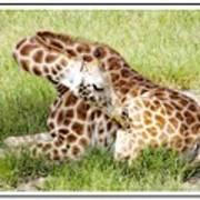 Sleeping Giraffe Poster