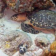 Sleeping Hawksbill Sea Turtle Poster