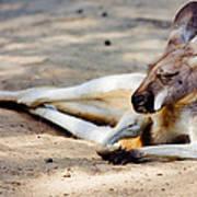 Sleeping Kangaroo Poster
