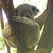 Sleeping Koala In Tree Poster