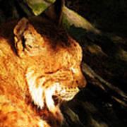 Sleeping Lynx  Poster