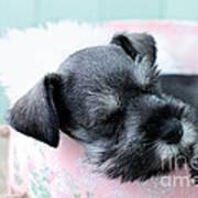 Sleeping Mini Schnauzer Poster