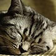 Sleeping Pet Poster