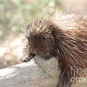 Sleeping Porcupine Poster