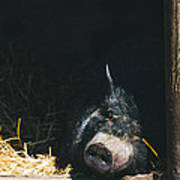 Sleeping Potbelly Pig Poster