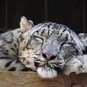 Sleeping Snow Leopard Poster