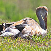 Sleepy Baby Sandhill Crane Poster