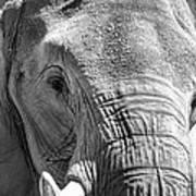 Sleepy Elephant Lady Black And White Poster