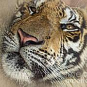 Sleepy Tiger Portrait Poster