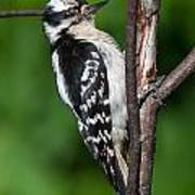 Sleepy Woodpecker Poster