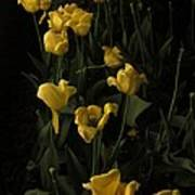 Sleepy Yellow Tulips Of The Silent Nocturne Poster