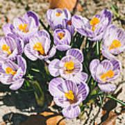Small Crocus Flower Field Poster