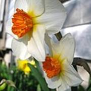 Small-cupped Daffodil Named Barrett Browning Poster