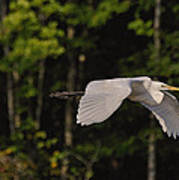 Small Egret Flying - C2730c Poster