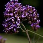 Small Purple Flowers On A Verbena Plant Poster