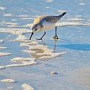 Small Sandpiper Looking For Dinner Poster