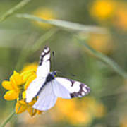 Small White Butterfly On Yellow Flower Poster