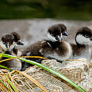 Smew Ducklings On Shore Poster