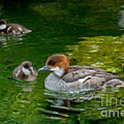 Smew With Ducklings Poster