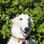 Smiling Borzoi Dog Poster by Christian Lagereek