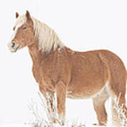 Smiling Palomino In The Snow Poster