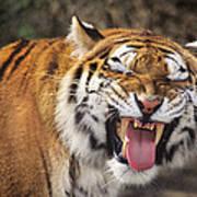 Smiling Tiger Endangered Species Wildlife Rescue Poster
