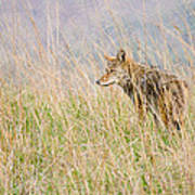 Smoky Mountains Coyote Poster