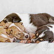 Smooth Collie Puppies Taking A Nap Poster