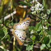 Snack For A White Peacock Butterfly Poster