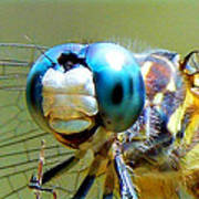Snack Time Dragonfly Poster