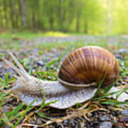 Snail Creeping Over A Forest Path Poster