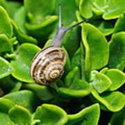 Snail Poster by Ivelin Donchev