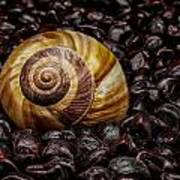 Snailshell In Tamarind Bed Poster