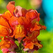 Snapdragon Flower Blurred Background Poster
