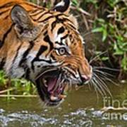 Snarling Tiger Poster