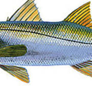 Snook Poster