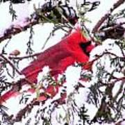 Snow Cardinal Poster