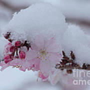 Snow Covered Pink Cherry Blossoms Poster