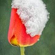 Snow Covered Tulip Poster