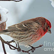 Snow Day Housefinch  Poster