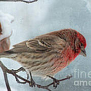 Snow Day Housefinch With Texture Poster
