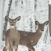 Snow Deer Poster