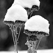 Snow Flowers Bw Poster