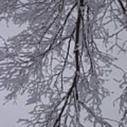 Snow Frosted Branches Poster
