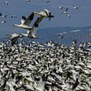 Snow Geese At Skagit Poster